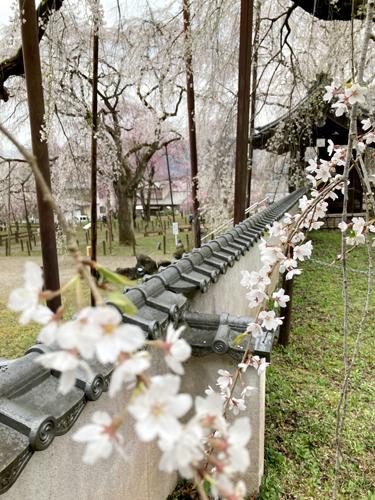 秩父の清雲寺の枝垂れ桜